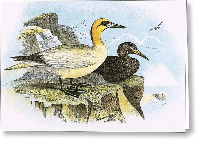 Gannet Greeting Cards - Gannet Greeting Card by English School