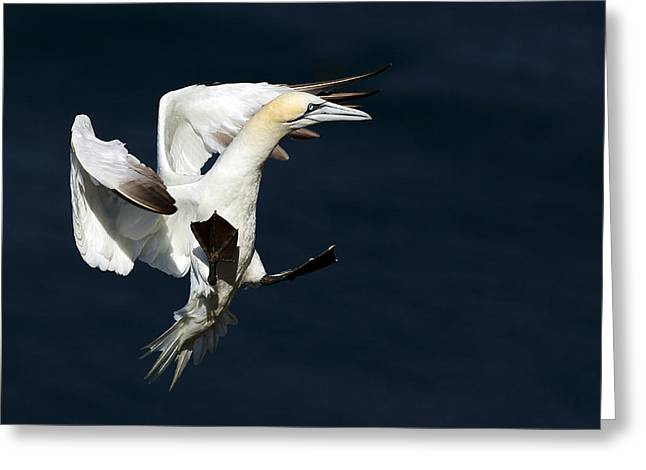 Gannet Greeting Cards - Gannet Greeting Card by Grant Glendinning