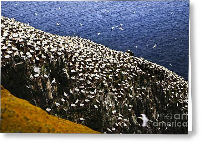 Nesting Greeting Cards - Gannets at Cape St. Marys Ecological Bird Sanctuary Greeting Card by Elena Elisseeva