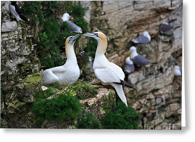 Gannet Greeting Cards - Gannets Nesting on the Side of a Cliff Greeting Card by Louise Heusinkveld