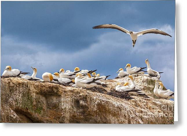 Gannet Greeting Cards - Gannets New Zealand Greeting Card by Colin and Linda McKie