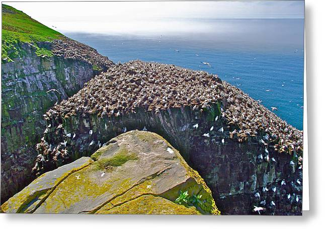 Reserve Greeting Cards - Gannets on Bird Rock in Saint Marys Ecological Reserve-NL Greeting Card by Ruth Hager