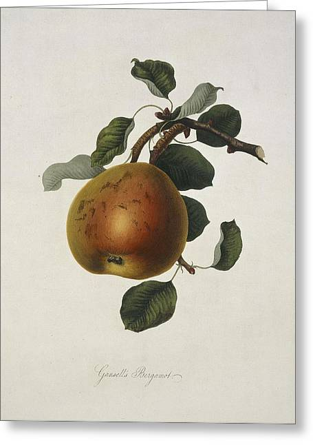 One Pear Greeting Cards - Gansels Bergamot Pear (1818) Greeting Card by Science Photo Library