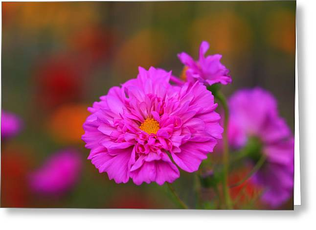Pinks And Purple Petals Photographs Greeting Cards - Garden Color Greeting Card by Rachel Cohen