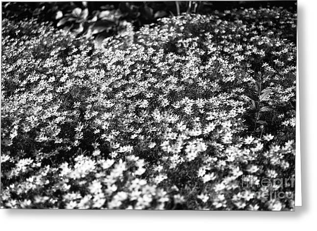 Garden Of Daisies Greeting Cards - Garden Crowd mono Greeting Card by John Rizzuto