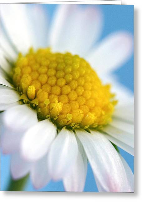 Sun Room Digital Art Greeting Cards - Garden Daisy Greeting Card by Natalie Kinnear