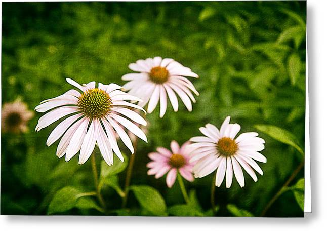 Aster Greeting Cards - Garden Dasies Greeting Card by Tom Mc Nemar