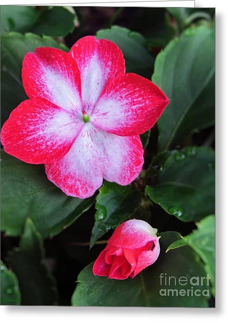 Floral Digital Art Greeting Cards - Garden Floral Art Impatiens 2 Greeting Card by Ella Kaye Dickey