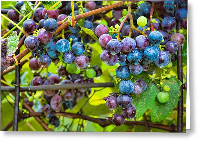 Concord Greeting Cards - Garden Grapes Greeting Card by Bill Pevlor