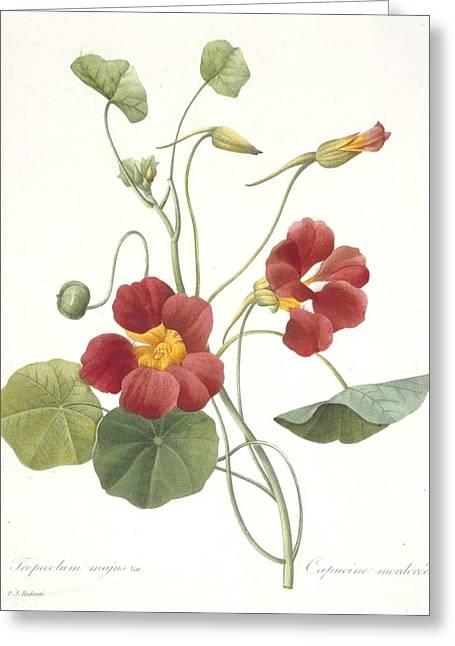 Tasteful Greeting Cards - Garden Nasturtium Greeting Card by Pierre Joseph Redoute
