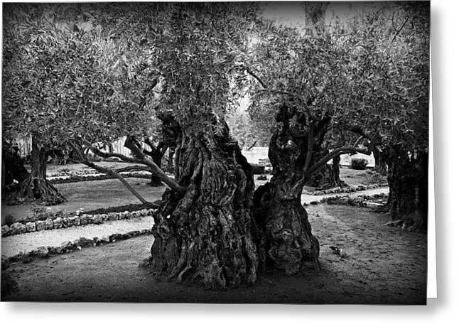Judas Greeting Cards - Garden of Gethsemane Olive Tree Greeting Card by Stephen Stookey