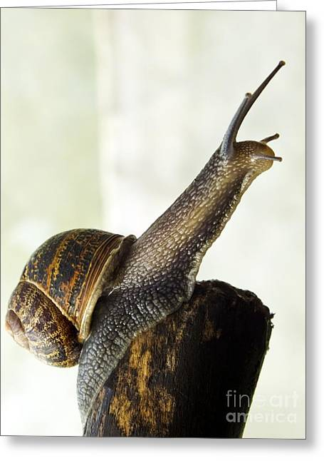 Helix Greeting Cards - Garden Snail Greeting Card by Ian Gowland