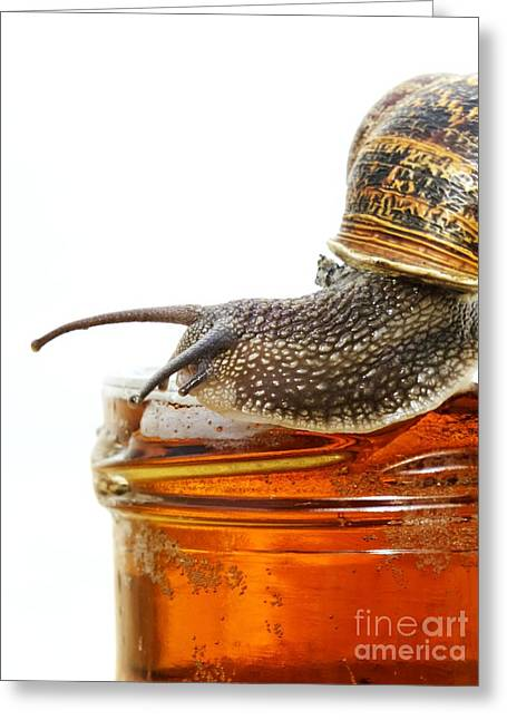 Helix Greeting Cards - Garden Snail On Beer Trap Greeting Card by Ian Gowland