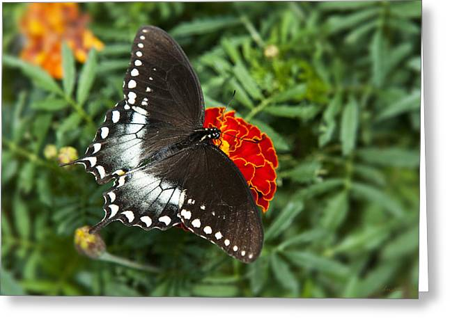 Garden Spice Butterfly Greeting Card by Christina Rollo