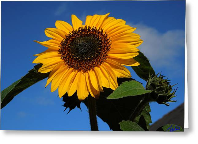 Colette Greeting Cards - Garden Sunflower October Greeting Card by Colette V Hera  Guggenheim