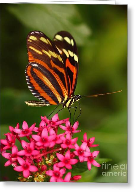 Orange And Brown Wings Greeting Cards - Garden Visitor Greeting Card by Sukey McDonough