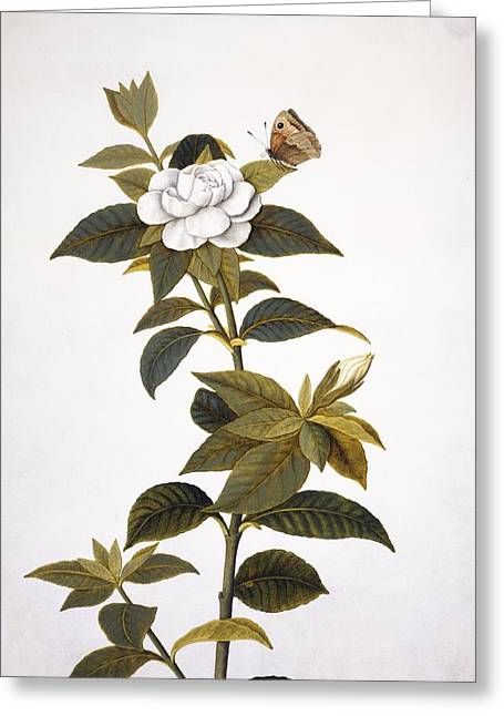 Gardenias Greeting Cards - Gardenia and butterfly, 18th century Greeting Card by Science Photo Library