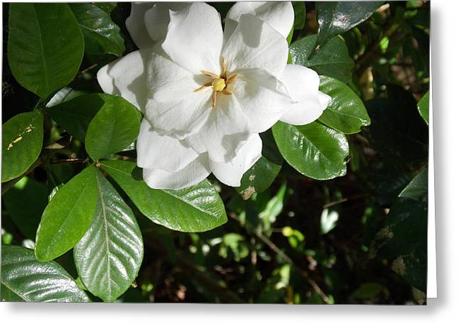 Narure Greeting Cards - Gardenia Greeting Card by Annette Allman