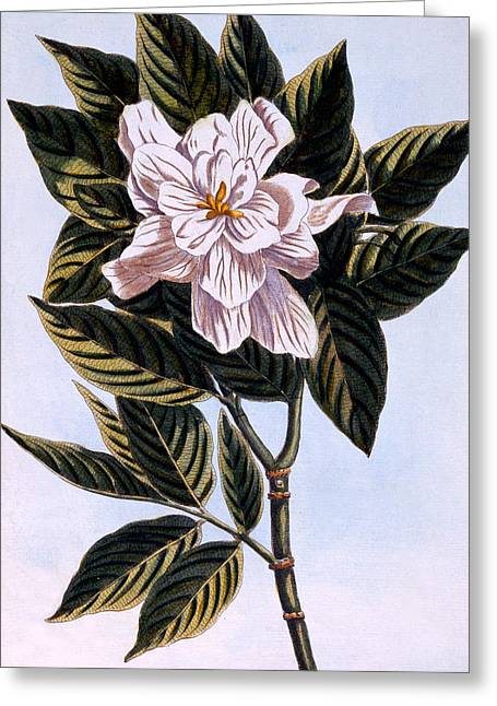Gardenia Greeting Cards - Gardenia G Augusta Greeting Card by Pierre Joseph Buchoz