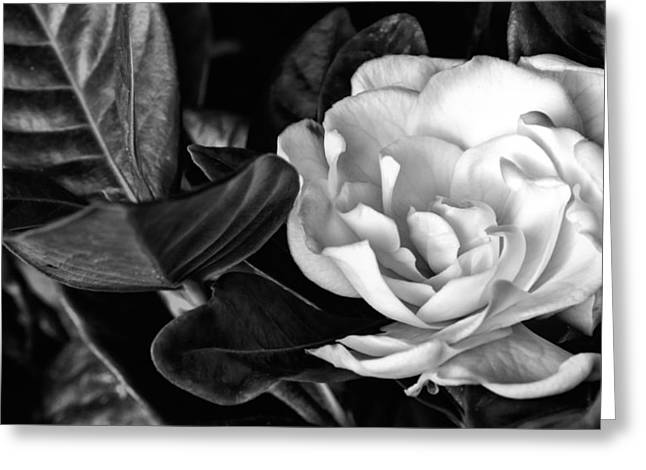 Gardenia Greeting Cards - Gardenia Jasminoides Black and White Greeting Card by JC Findley