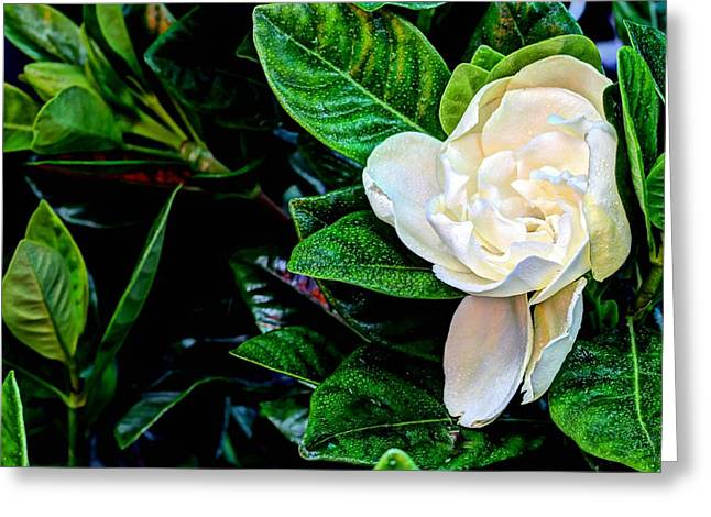 Gardenia Greeting Cards - Gardenia Jasminoides Greeting Card by JC Findley