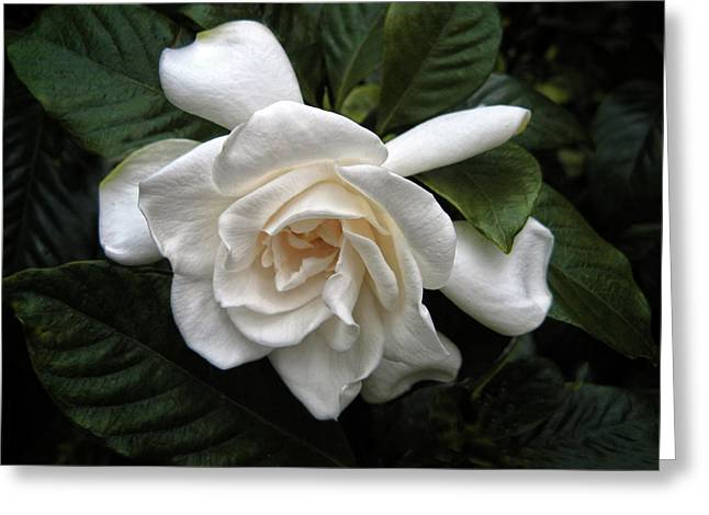 Petals Digital Greeting Cards - Gardenia Greeting Card by Jessica Jenney