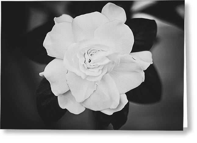 Gardenia Greeting Cards - Gardenia Greeting Card by Jessie Gould