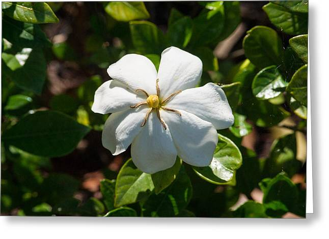 Gardenia Greeting Cards - Gardinia at Twilight 1 Greeting Card by Douglas Barnett