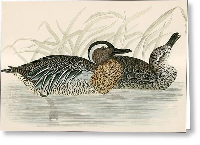 Hunting Bird Greeting Cards - Garganey Teal Greeting Card by Beverley R. Morris
