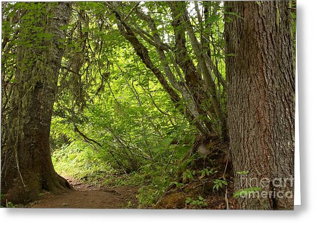 Lichen Covered Trees Greeting Cards - Garibaldi Old Growth Cedars Greeting Card by Adam Jewell