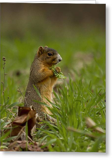 Eastern Fox Squirrel Greeting Cards - Gathering Food Greeting Card by David and Sandra Mayes