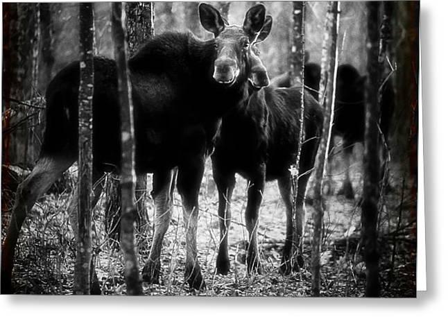 Gathering of Moose Greeting Card by Bob Orsillo