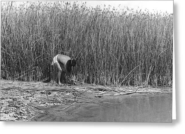 Gathering Tule Bulrushes Greeting Card by Underwood Archives Onia
