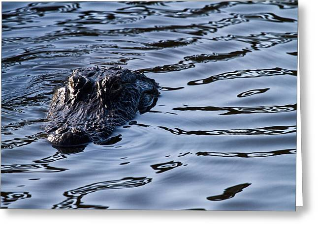 Mangrove Greeting Cards - Gator on the hunt Greeting Card by Andres Leon