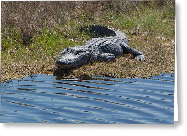 Coldblooded Greeting Cards - Gator Smile Greeting Card by John Bailey