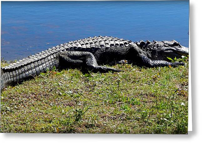 Florida Gators Digital Greeting Cards - Gator Sun Bathing Greeting Card by Lynn Griffin