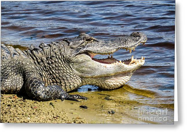 Gator Greeting Card by Zina Stromberg