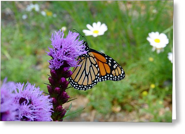 Gayfeathers And Butterfly Greeting Card by Sandra Updyke