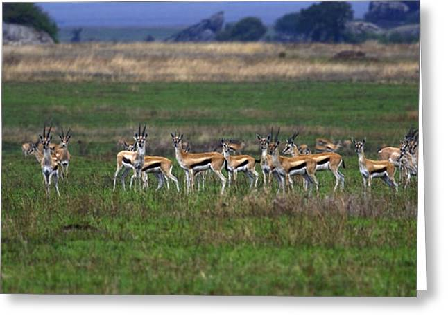Tommie Greeting Cards - Gazelle Herd Greeting Card by Sally Weigand