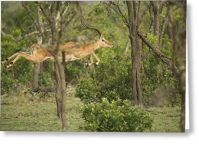 Gazelle Greeting Cards - Gazelle Greeting Card by Wade Aiken