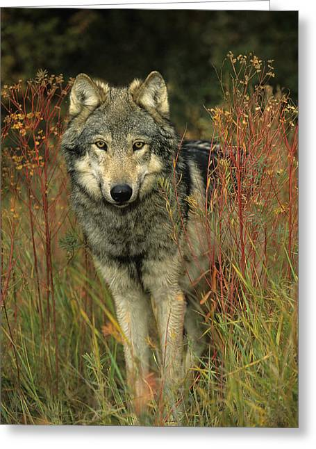 Predaceous Greeting Cards - G&b Grambo, Male Grey Wolf In Clearing Greeting Card by Rebecca Grambo