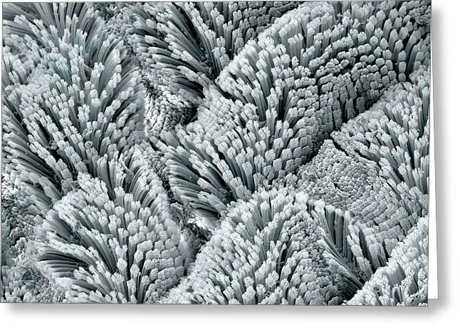 Scanning Electron Micrograph Greeting Cards - Gecko foot hairs, SEM Greeting Card by Science Photo Library