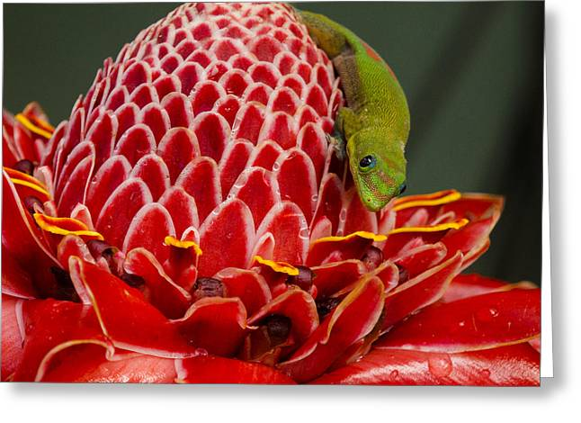 Gecko On Red Ginger Greeting Card by Inge Riis McDonald