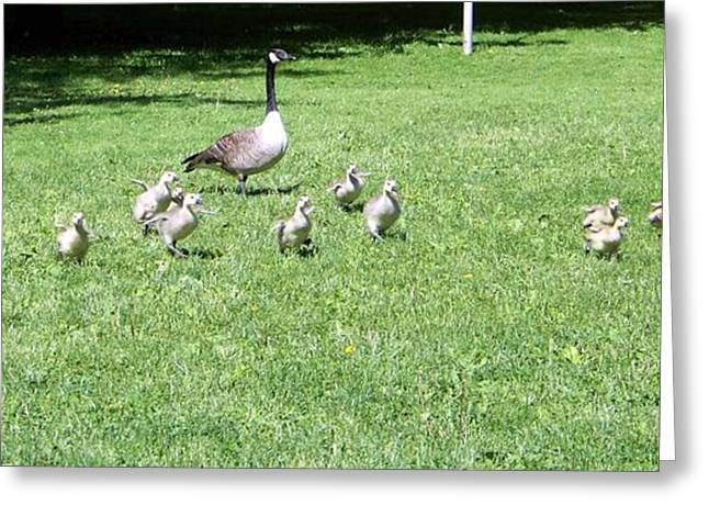 Mother Goose Greeting Cards - Geese and Goslings Greeting Card by Kate Scott