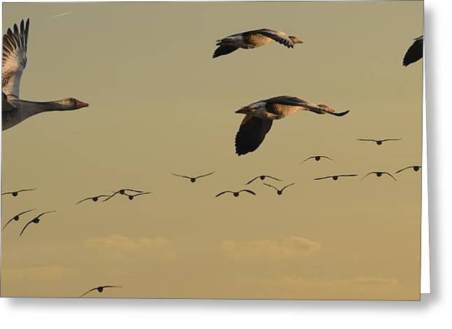 Branta Greeting Cards - Geese charter Greeting Card by Michael Mogensen