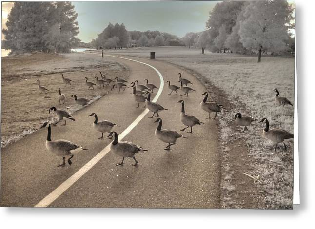 Gaggle Greeting Cards - Geese Crossing Greeting Card by Jane Linders