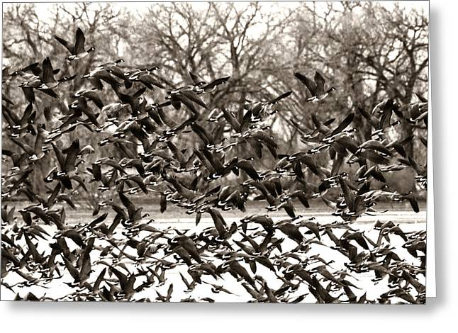 Gaggle Greeting Cards - Geese in Flight 2 Greeting Card by Marilyn Hunt