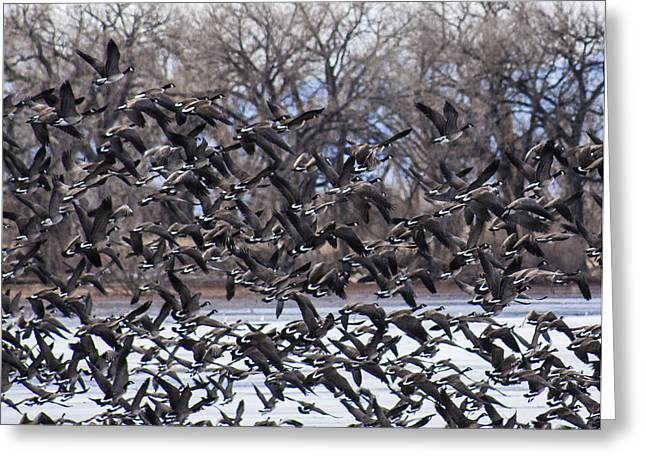 Gaggle Greeting Cards - Geese in Flight Greeting Card by Marilyn Hunt