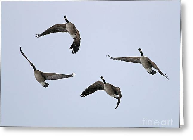 Snow Geese In Flight Greeting Cards - Geese in Snow 1909 Greeting Card by Jack Schultz
