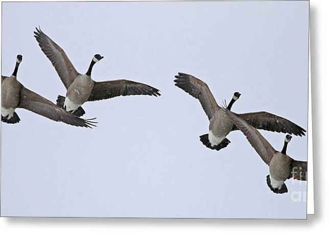 Snow Geese In Flight Greeting Cards - Geese in Snow 1915 Greeting Card by Jack Schultz